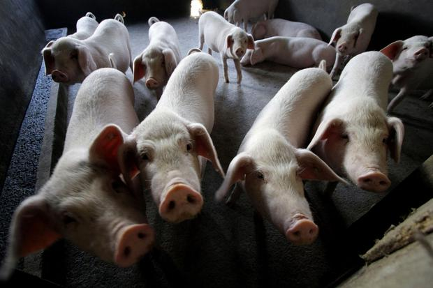 Up to 30,000 animals could be housed at the proposed pig unit in Newtownabbey
