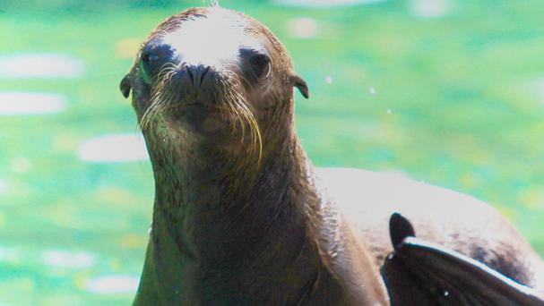 A Californian sea lion is the latest addition for Belfast Zoo (Belfast Zoo/PA)