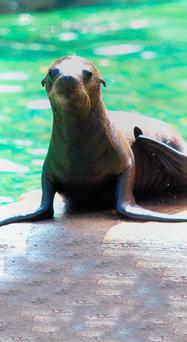 The baby sea lion at Belfast Zoo