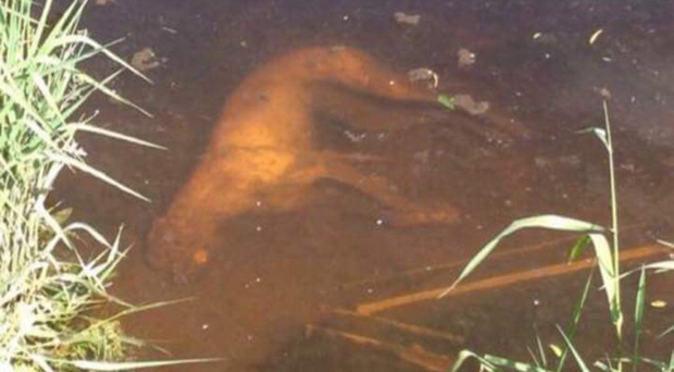 A mutilated greyhound found in the River Foyle