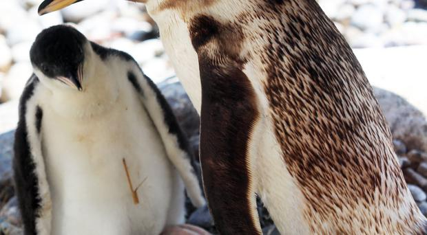 One of Belfast Zoo's gentoo penguin chicks with its mum