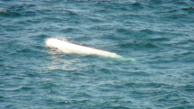 The beluga whale which was spotted off the North Antrim coast