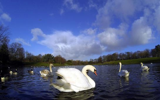 A swan was attacked by a pike at Castle Archdale Country Park