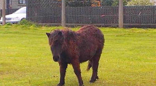 Rusty the Shetland pony urgently needs to find a new owner