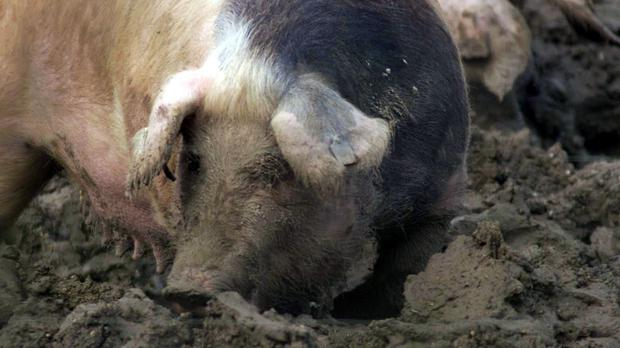 Police are investigating the blaze which killed hundreds of pigs