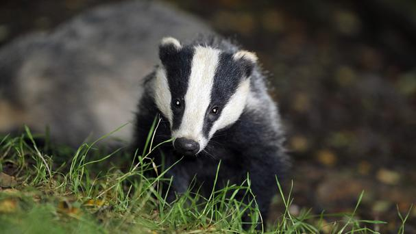 Farmers who disturb badgers risk increasing the spread of bovine TB, a study has found