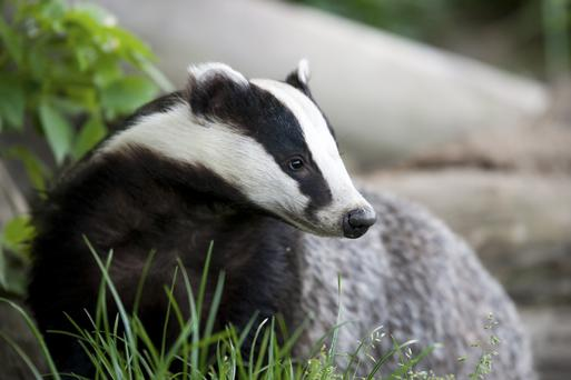 Illegally disturbing badger habitats contributes to new outbreaks of the infection in nearby herds, according to researchers at Queen's University, Belfast