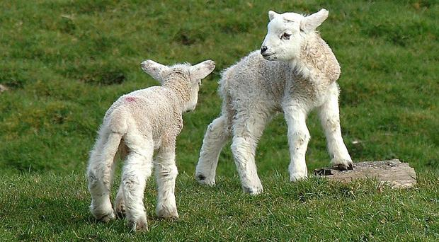Police say 16 lambs stolen would be poisonous if sold off as meat