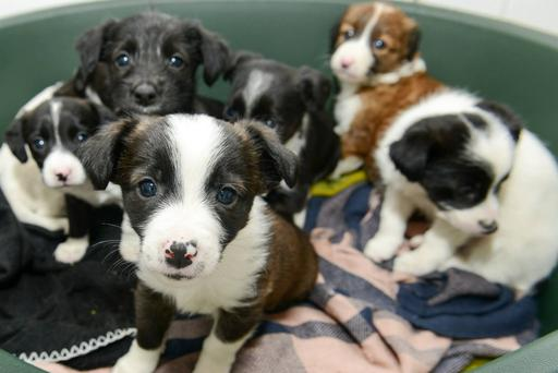 The puppies after they had been rescued by Assisi Animal Sanctuary
