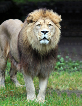 Majestic: Qays the lion