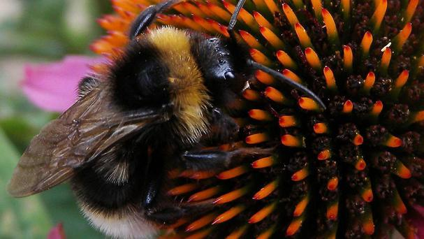 A third of the bee population is facing extinction unless action is taken