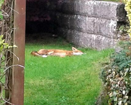 The fox dozes in the McAlpines' garden