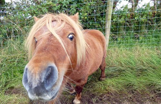 Ginger the Shetland was found wandering in Co Antrim