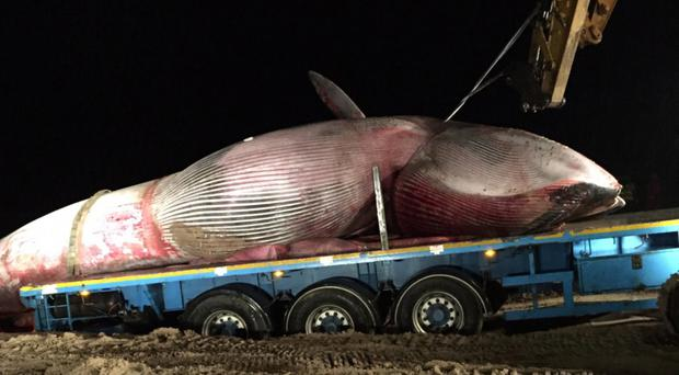 The 43ft whale is removed from Portstewart beach on Monday