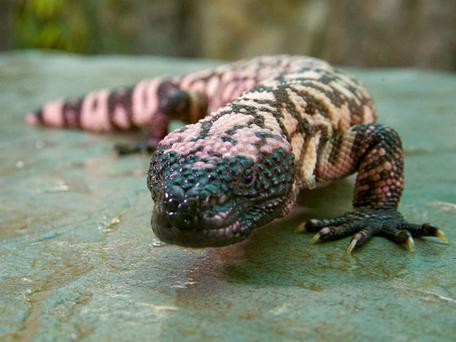 A Gila monster