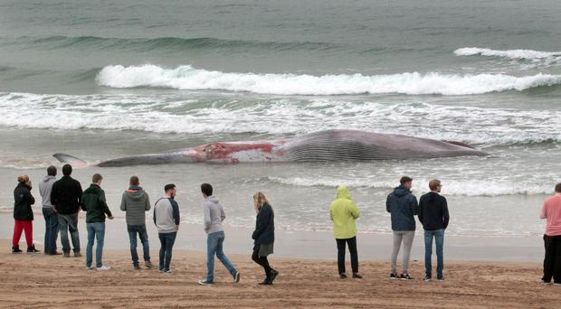 People on Portstewart Strand on Monday viewing the dead whale