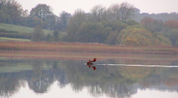 Colin Beacom's photograph of a buck swimming in Lough Erne