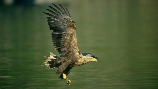 A white-tailed eagle was among the birds poisoned in past three years, report found.