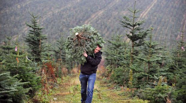 Real Christmas trees continue to be popular throughout the province