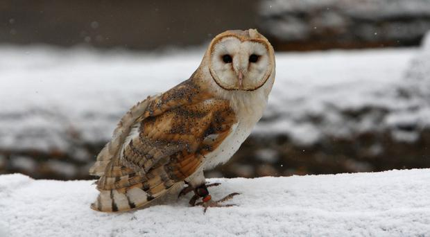 A licence is required to keep a barn owl