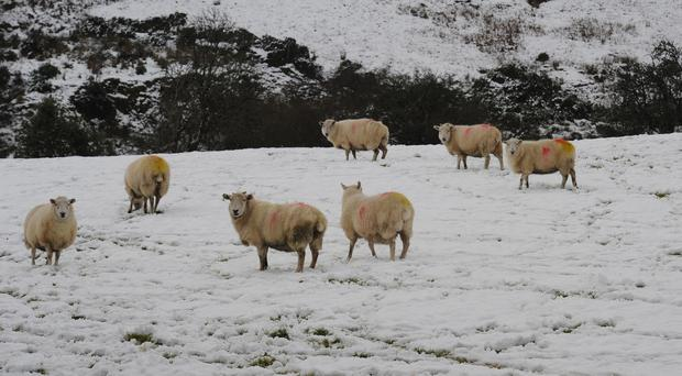 Sheep along the snow-capped Sperrin Mountains