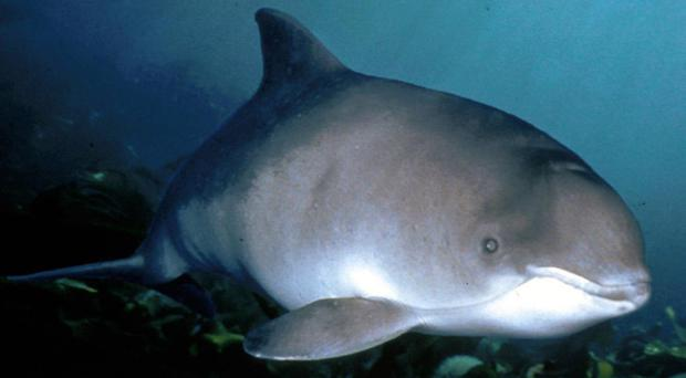 Harbour porpoises are the smallest marine mammal in UK waters