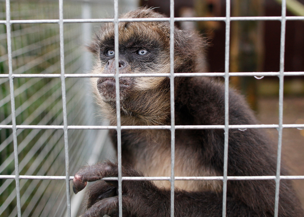 Spider monkey Winston looks out from his cage at Jungle Park in Ballymena