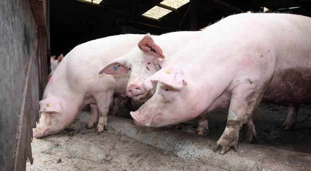 Pig farm incomes fell by 24% last year