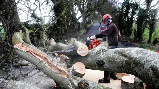 Farmers work to clear two 200-year-old beech trees that were uprooted and toppled over by the near hurricane force winds of Storm Gertrude