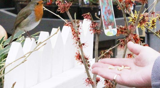 Rachael Hiles coaxes Robbi the robin with some food