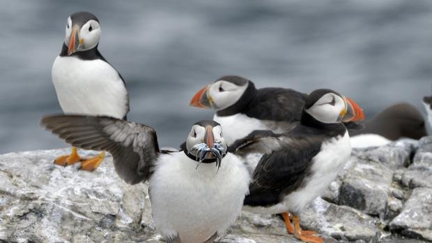 The island is host to puffins, fulmars, razorbills, guillemots and kittiwakes