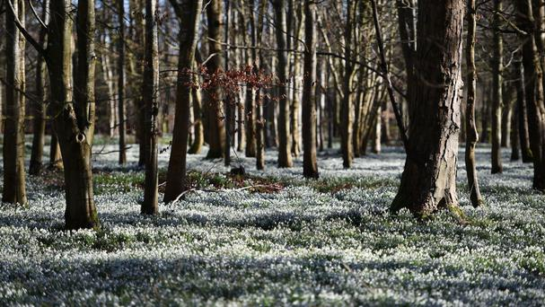 Snowdrops carpet the ground at Welford Park in Berkshire