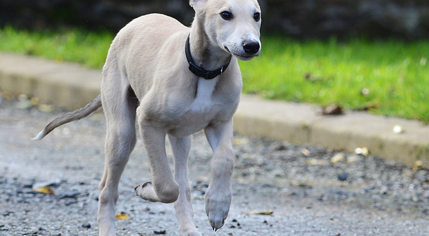 Lurcher Seth is in foster care