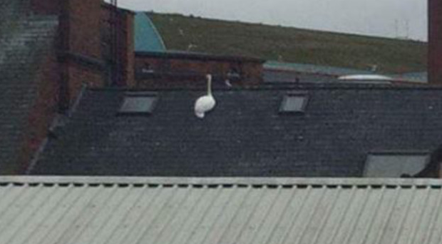 The swan on the roof