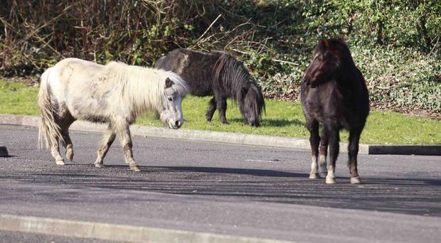 A horse and two ponies in Coleraine Court car park yesterday