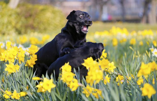 Dogs play among the daffodils in Victoria Park yesterday