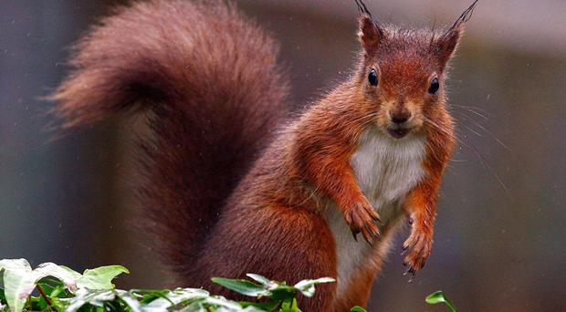 Red squirrel numbers are being affected by a deadly virus