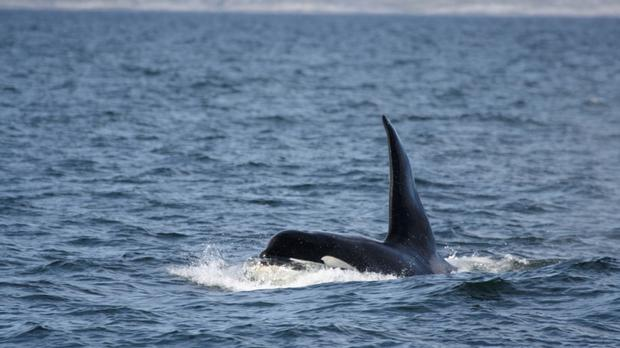 Killer whale Comet has been identified as 'Dopey Dick' who swam up the River Foyle to Londonderry in 1977 (PA/Hebridean Whale and Dolphin Trust/Genevieve Leaper)