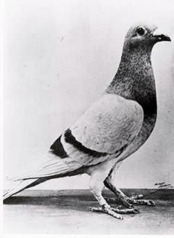 Life-saving WWII pigeon William of Orange