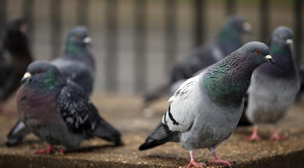 The National Pigeon Service was a key way of delivering news from the front