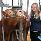 Emma McInnes preparing an Limousin Bull for competition during the first day of the Balmoral Show