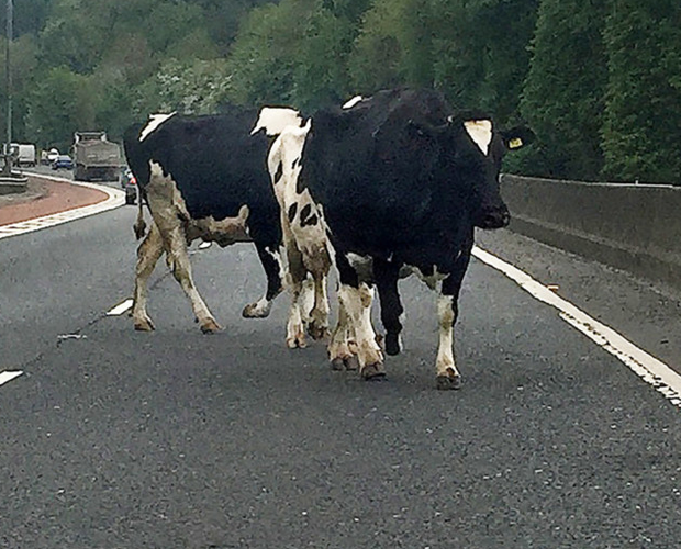 Cows on the M1 motorway yesterday at Ballyskeagh near Belfast