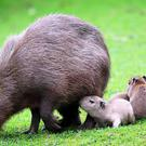 The four capybara babies with mum