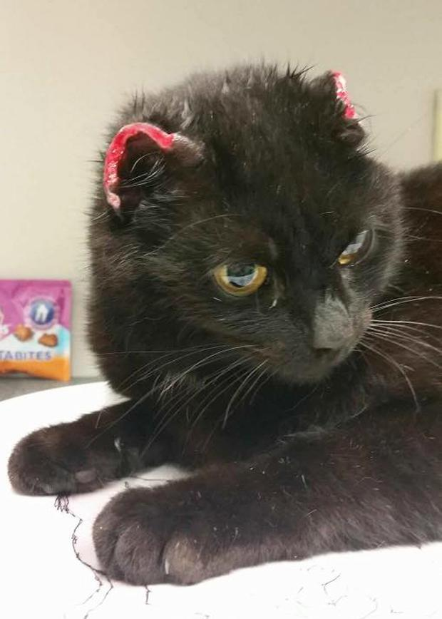 Leah, a black stray cat, had both her ears cut off