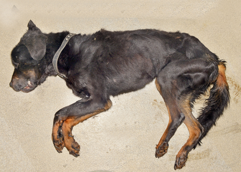 Bailey, the rottweiler who starved to death