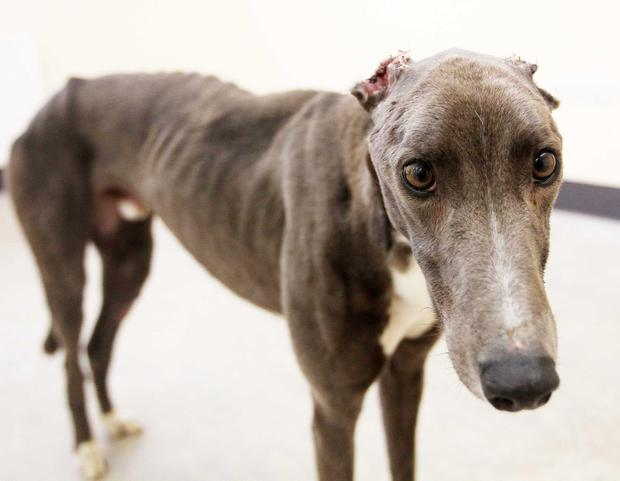 Norman, the greyhound found with his ears cut off