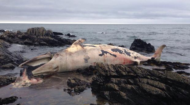 The whale that washed up at St John's Point