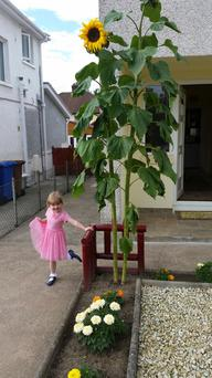Sarah Baines beside one of sunflowers her grandfather planted for her