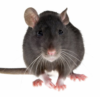 Several dead rats were discovered on the school grounds of St Teresa's on Monday morning, however, the principal insisted that the school was
