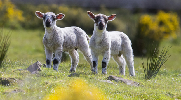 An international farm animal charity has condemned the death of 120 Irish lambs from heat stress on a flight to Singapore.